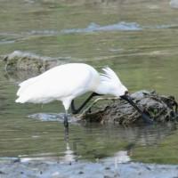 頭を掻く野鳥たち クロツラヘラサギ