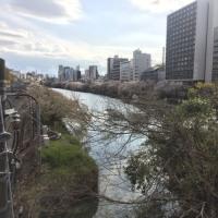 Mamieのフランス留学日記 東京の桜