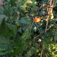 庭の野菜たち 161207