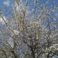 梅の花の香る頃