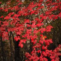 雁が腹摺り山(1,874m)・・・美しい紅葉