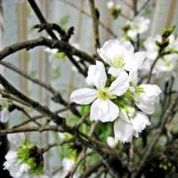 咲いた・咲いたサクラが咲いた‼(サクラNo3)