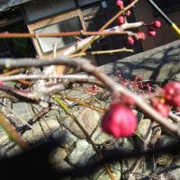 道案内は;梅の花