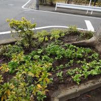 菜の花の苗&チューリップの球根植え付け【2016年12月18日】
