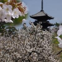 御室の桜-2