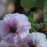 尾山神社の「兼六園菊桜」は五分咲き程
