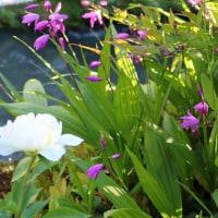 二日間の休みに「しらん」開花進んでいます。