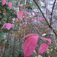 岩湧山~南葛城山③☆☆☆また桃葉を見つけました!