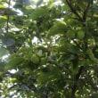 平種柿の生理落下