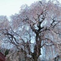 わが村のしだれ桜は見頃なのだが