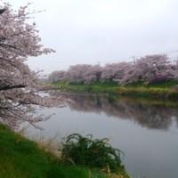 河沿い・堤の桜..