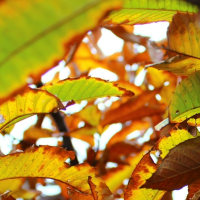 栗の葉の紅葉。。