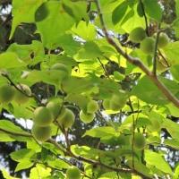梅の実がなっている