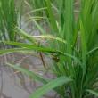 7月5日今日は田んぼの除草機押しです。