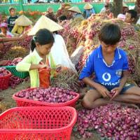 トロピカルレッドシャロットの収穫
