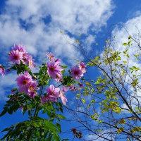 皇帝ダリヤがきれいに咲いています
