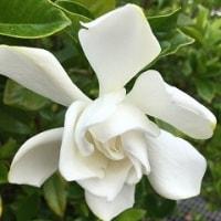 タイサンボクの香り