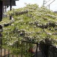 我が家のドウダンツツジもきれいに咲きました(´∀`*)