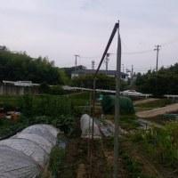 キュウリ植えました。