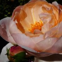 『秋の薔薇』 アンブリッジ