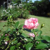 秋晴れで 気持ちよさそう バラのストロベリーアイス