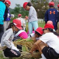 「5年総合 稲刈り始まる」の巻