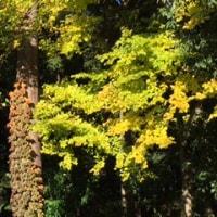 森の木も金色に