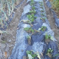 抜いたタマネギの跡に育てたサツマイモの蔓20本を植えました 合計58本に