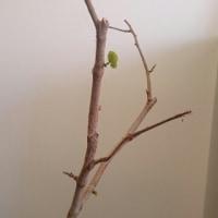 ハマベブドウ(シーグレープ) 22続き3