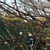 朝露と梅の花