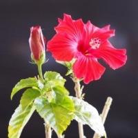 この時期にハイビスカスが咲いた・・・
