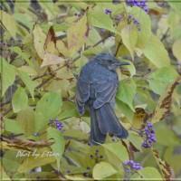 ムラサキの実とヒヨドリの幼鳥