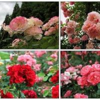 バラの花を愛でに その2