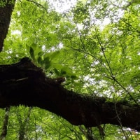 ミズナラの巨木につくイワギボウシ