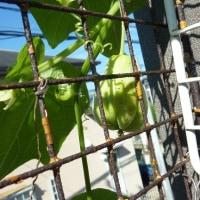 やっと ハヤト瓜が。