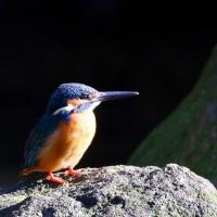 青い鳥二種・ルリ&カワセミ