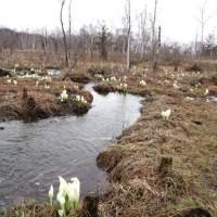 乗鞍高原の水芭蕉の群生