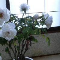 白い 牡丹