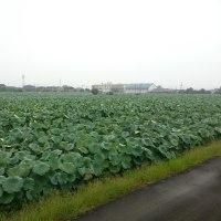 大口のレンコン畑