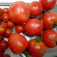 狭い菜園を占領するサトイモ集団