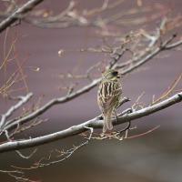 岡崎公園のクロジの黒ちゃん その2