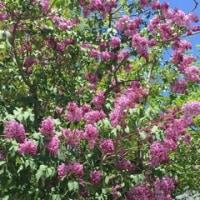 八重桜はまだ見られますよ。