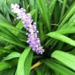 夕方庭に、水やりをする頃に咲く花