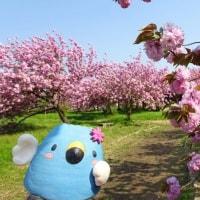 ごずっちょ写真館223 瓢湖の八重桜1