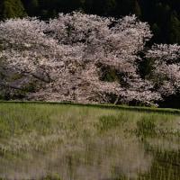 諸木野の桜「奈良宇陀市」