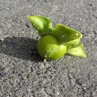 風で落ちた柿の実