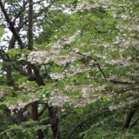 エゴノキ(エゴノキ科・エゴノキ属)落葉小高木