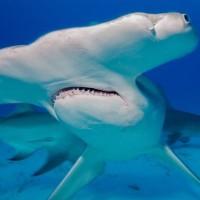 12.6フィートのシュモクザメを90分の格闘で得た