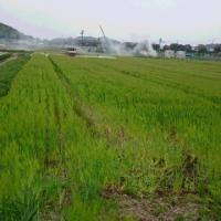 大麦の赤カビ・アブラムシの防除が始まりました。
