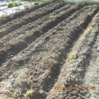 ジャガイモを植えました 3kg追加して合計8kg